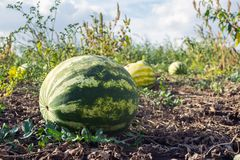Organic watermelons grown without herbicides on the plantation.  stock images
