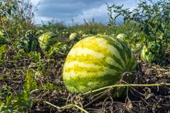 Organic watermelons grown without herbicides on the plantation.  royalty free stock photo