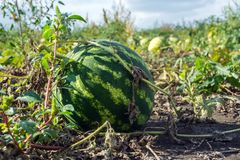 Organic watermelons grown without herbicides on the plantation.  stock photos
