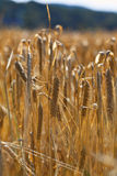 Organic wheat ears in field Stock Photos