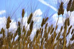 Organic wheat field  Royalty Free Stock Photos