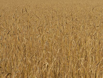 Organic wheat field before harvest Royalty Free Stock Image