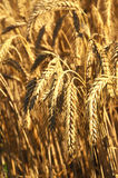 Organic Wheat Grain Stock Images