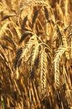 Organic Wheat Grain. Farming of Organic Wheat in Fairfield, California Stock Images