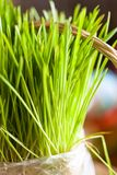 Organic wheat grass. In the bag closeup Royalty Free Stock Photo