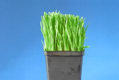 Organic wheat grass Stock Photos