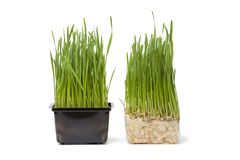 Organic wheat grass in plastic container Stock Photos