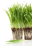 Organic wheat grass on white. Organic wheat grass against a white background Stock Photography