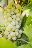 Organic White Grapes Stock Image
