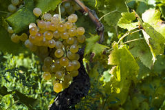 The organic white grapes (Vitis vinifera) Royalty Free Stock Images