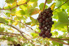 Organic wine grape Stock Image