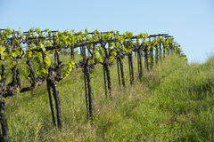 Organic wine grapes Stock Photography