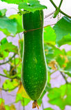 Organic winter melon (white gourd) Stock Image