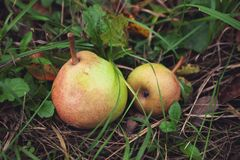Organic winter pears in the autumn garden on the grass.  royalty free stock photo
