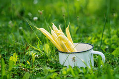 Organic yellow beans (french beans) in metal cup in garden Stock Photos