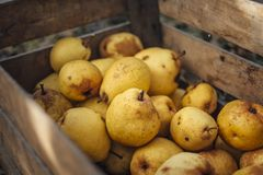 Organic yellow pears in a wooden crate. Pile Organic yellow pears in a wooden crate close up royalty free stock image