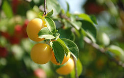 Organic yellow plums on a branch. Pic of organic yellow plums on a branch Stock Photos