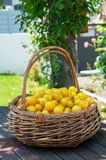 Organic yellow plums mirabelle in basket stock photo