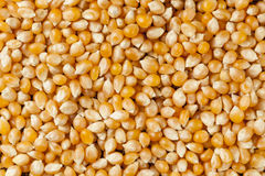 Organic Raw Yellow Corn Kernels Stock Photo