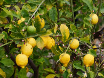Organic yellow ripe lemon friuts and flowers on a branch Stock Photo