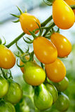 Organic Yellow Submarine tomatoes Stock Photo