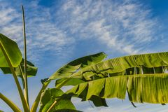 Organic young banana tree with green teared leaves under blue sk royalty free stock photos