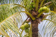 Organic young green coconuts on the coconut tree under blue sky Royalty Free Stock Image