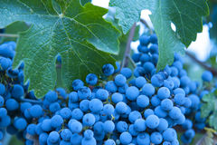 Organic Zinfandel grapes. Close up of organic Zinfandel grapes ready for harvest Stock Images