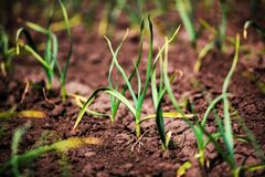 Organically cultivated garlic plantation. Organically cultivated royalty free stock image