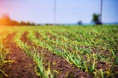 Organically cultivated garlic plantation. Field, green, food, vegetable, farming, agriculture, growth, garden, spring, natural, soil, nature, gardening, season stock photos