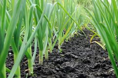 Organically cultivated garlic plantation royalty free stock images