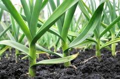 Organically cultivated garlic plantation Royalty Free Stock Photo