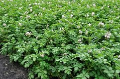 Organically cultivated plantation of potato in the vegetable gar. Blooming potato plantation in the vegetable garden Royalty Free Stock Image