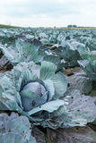 Organically cultivated red cabbages from close Stock Image