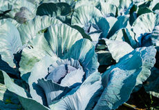 Organically cultivated red cabbages from close Stock Images