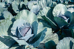 Organically cultivated red cabbages from close. Closeup of organically cultivated Red Cabbage or Brassica oleracea var. capitata f. rubra plants with dew Royalty Free Stock Photo