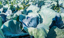 Organically cultivated red cabbages from close Royalty Free Stock Image