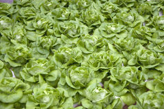 Organically Farmed Butterhead Lettuce Royalty Free Stock Photography