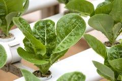 Organically Farmed Romaine Lettuce. Image of organically farmed Romaine Lettuce in Malaysia Stock Photos