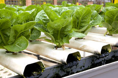 Organically Farmed Romaine Lettuce Stock Image