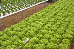 Organically Farmed Vegetables. Image of organically farmed vegetables in Malaysia Stock Image