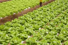 Organically Farmed Vegetables. Image of organically farmed vegetables in Malaysia Royalty Free Stock Photo