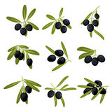 Organically grown black olive fruits on branches Stock Images