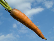Organically grown carrot Stock Photography