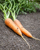 Organically Grown Carrots Fresh Picked from the Garden Stock Photography