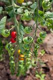 Organically grown cherry tomatoes Stock Photo