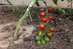 Organically grown cherry tomatoes Stock Image