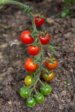 Organically grown cherry tomatoes. In the greenhouse. Organic farming Royalty Free Stock Photography