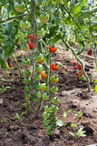Organically grown cherry tomatoes. In the greenhouse. Organic farming Royalty Free Stock Photo