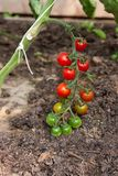Organically grown cherry tomatoes Stock Photography